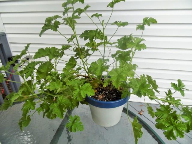 Rose geranium plant