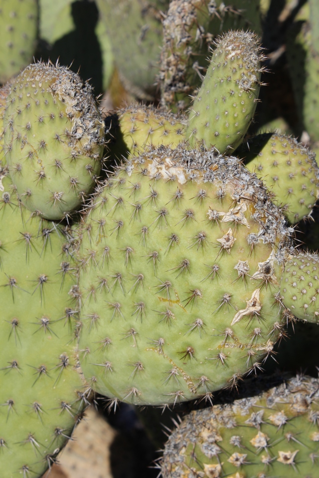Prickly Pear Cactus, up close